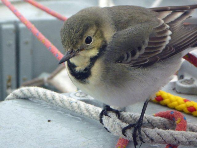 Hitch-hiker 150 miles west of Norway - juvenile white wagtail
